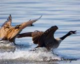 Canada Geese making a soft landing