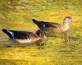 Wood Duck partners DSC_1320-ec.jpg