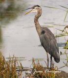 Great Blue Heron DSC_0678-ec.jpg