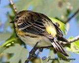 Yellow-rumped Warbler DSC0335-ec.jpg