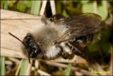 fotoopa 23851 Andrena vaga
