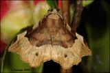 fotoopa D302721 Halvemaanvlinder - Selenia tetralunaria