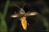 fotoopa D305896 Kniptor spec. - Elateridae spec