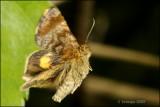 fotoopa D305861 Dwerghuismoeder - Panemeria tenebrata Uilen