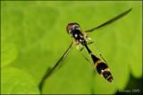 fotoopa D305910 Vliegende speld - Baccha elongata P.