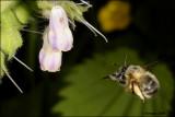 fotoopa D307618 Gewone Sachembij - Anthophora plumipes