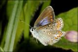 fotoopa D308237 icarusblauwtje - Polyommatus icarus