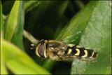fotoopa D308339 Scaeva selenitica - Gele halvemaanzwever