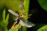 fotoopa D309362 Kniptor spec. - Elateridae