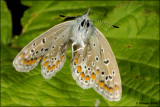 fotoopa D309462 icarusblauwtje - Polyommatus icarus