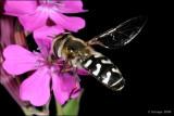 fotoopa D310941 Witte Halvemaanzweefvlieg - Scaeva pyrastri