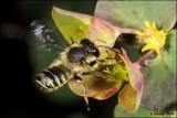 fotoopa D311033 Behangersbij spec. - Megachile spec