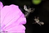 fotooopa D311068 Kleine klokjesbij - Chelostoma campunularum