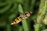 fotoopa D311725 Snorzweefvlieg - Episyrphus balteatus
