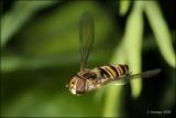 fotoopa D311726 Snorzweefvlieg - Episyrphus balteatus