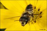fotoopa D311693 Tuinbladsnijder - Megachile centuncularis