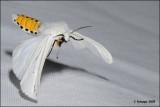 fotoopa D312949 Witte Tijger - Spilosoma lubricipeda