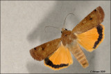 fotoopa D313174 Huismoeder - Noctua pronuba