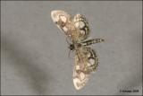 fotoopa D313365 Phlyctaenia coronata