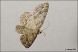 fotoopa D313413 Gewone Spikkelspanner - Ectropis crepuscularia