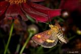 fotoopa D314661 Muntvlindertje - Pyrausta aurata