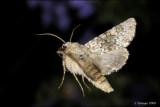 fotoopa  D314802 Tweekleurige Uil - Hecatera bicolorata