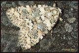 Cryphia domestica - lichte korstmosuil