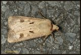 Agrotis exclamationis - gewone worteluil