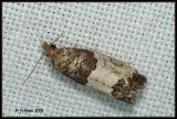 Spilonota ocellana (Tortricidae).