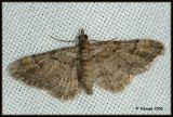 oscelis rufifasciata - zwartkamdwergspanner