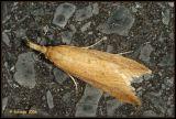 Donacaula forficella (Crambidae).