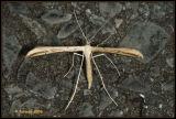Stenoptilia pterodactyla.