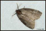 Ochropacha duplaris - tweestip-orvlinder