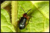Oulema melanopa or duftschmidi (Chrysomelidae)