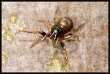 DSC_4717 Heliophanus sp. or Heliophanus auratus.