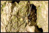 DSC_4830 Philodromus sp.
