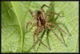 DSC_5135 Pardosa sp.