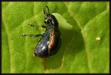 Gastrophysa viridula (Chrysomelidae)