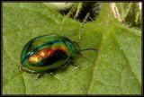 Chrysolina fastuosa (Chrysomelidae)