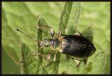 Phyllobius pyri (Curculionidae)