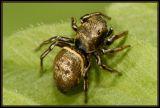 DSC_5900 Heliophanus sp. or Heliophanus auratus
