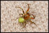 DSC_6706 Araniella sp. (A. cucurbitina or A. opisthographa)