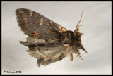 Notodonta dromedarius - dromedaris