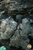 Alapaha Rv_Opalized breccia.jpg