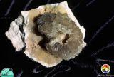 Calcite recystallized echinoid.jpg