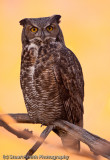 Great Horned Owl 10212010-0330
