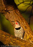 Red-Shafted Northern Flicker-0654