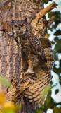 Great Horned Owl stretching-0846
