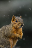 Squirrel in snow shower-2962