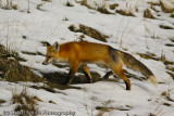 Red Fox (male) -3028